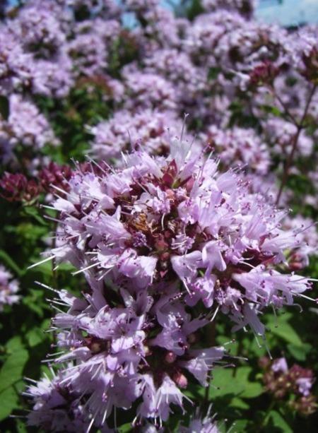 2008jun30oreganoflowers