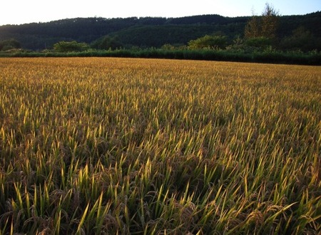 2008sep14goldricefield05